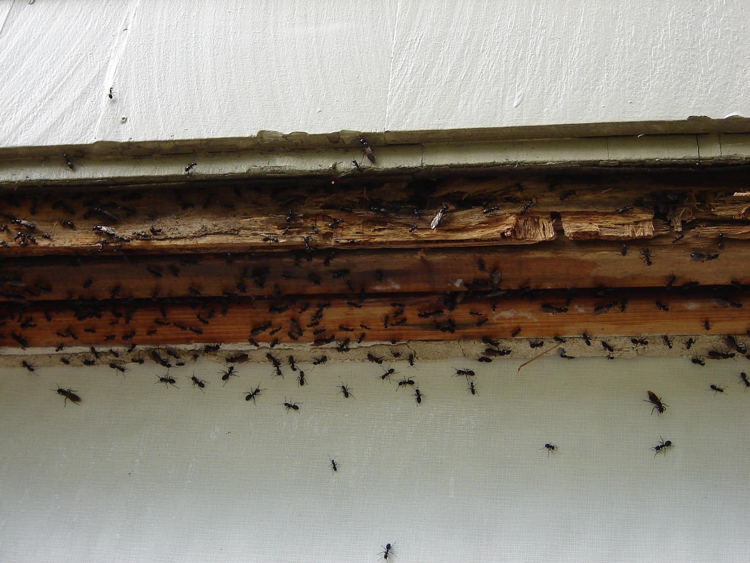 Carpenter Ant Colony in a Home