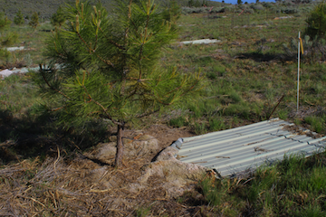Young Ponderose pine with rainwater collector