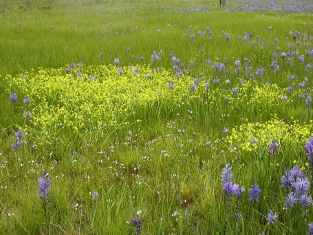 Camas in meadow